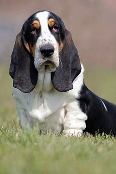 Basset Hound - friendly, outgoing, and playful. Hounds were bred for good sense of smell to be hunting dogs. Basset Puppies, Bloodhound Dogs, Dogs And Puppies, Doggies, Hound Puppies, Beagles, Chien Basset Hound, Pet Puppy, Dog Cat