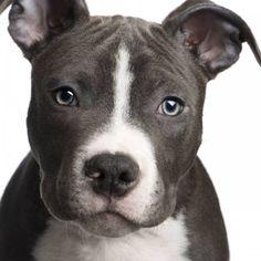 American Pit Bull Terrier történelem, megjelenés, karakter és fotó