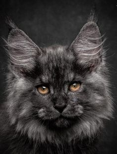Maine Coon, beautiful! Мейн-кун