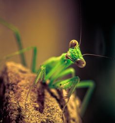 praying mantis is the only insect that can turn its head