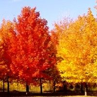 Buy Sugar Maple Tree
