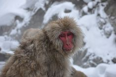 Snow Monkeys in Japan: Ultimate Guide for Visiting Jigokudani Snow Monkey Park Monkey Park Japan, Snow Monkey Park, Snow Monkeys Japan, Nagano Japan, Japan Travel Tips, Go To Japan, Winter Destinations, Animals Of The World, Primates
