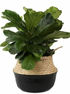 Costa Farms Ficus Lyrata Fiddle Leaf Fig Tree, Live Indoor Plant, Grower's Pot, 20 to Tall
