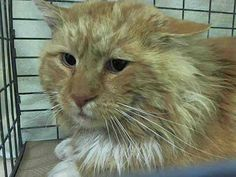 This Boy was Rescued. NEW YORK CITY KILLS CATS DAILY!!  This poor guy is at Manhattan Center  My name is SPARTACUS.  ID #A0989431 male org tabby domestic lh mix. about 3 YEARS old.I came in the shelter as a STRAY on 01/12/2014 https://www.facebook.com/media/set/?set=a.725284647489525.1073742175.220724831278845&type=3