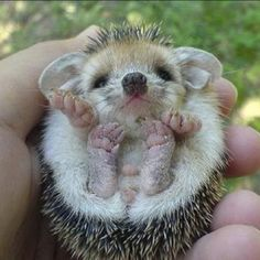 Adorable Pics Of Darcy The Cutest Hedgehog Youve Ever Seen - Darcy cutest hedgehog ever