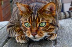 Bengal cat, soo beautiful