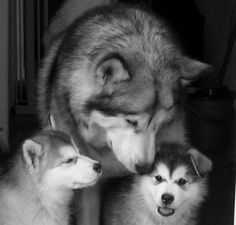 Scout our Alaskan Malamute as a pup :) Bottom right x
