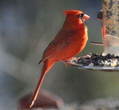 Northern Cardinal. Audubon. Backyard Bird Count.