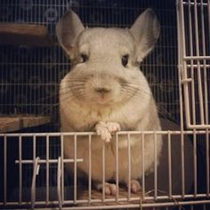 They're ridiculously photogenic (and they know it)… | Community Post: 10 Reasons Chinchillas Are Super Cute