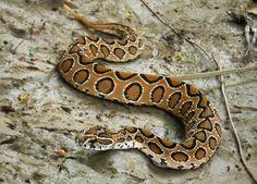 """exotic-venom: """"(Daboia russelii) Russell's viper """""""