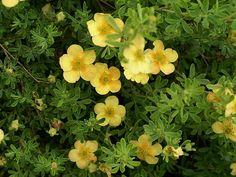 http://faaxaal.forumactif.com/t1466-photos-d-arbustes-potentille-ligneuse-potentille-arbustive-potentilla-fruticosa-dasiphora-fruticosa-shrubby-cinquefoil