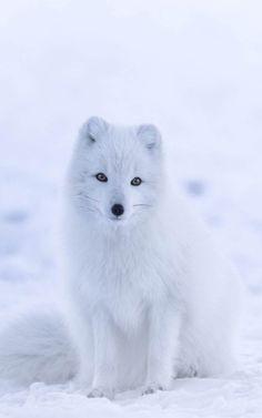 A cute arctic fox Cute Baby Animals, Animals And Pets, Baby Arctic Fox, Pet Fox, White Fox, Snow White, Fox Art, Spirit Animal, Animal Photography