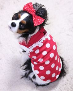Tri colour King Charles Cavalier lady in polka dots Cavalier King Charles, Cavalier King Spaniel, King Charles Dog, King Charles Spaniel, Australian Shepherd Dogs, Buckets, Puppy Love, Animals And Pets, Puppies