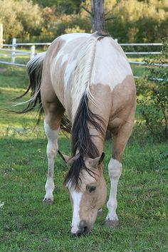 Dream horse - buckskin paint horse