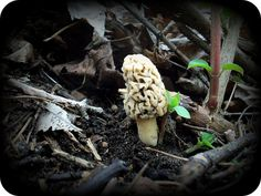 It's morel mushroom time in Wisconsin, check out www.thewisconsintimes.com for identification, where to find them, recipes and a really cool time lapse video! #Wisconsin #Morel