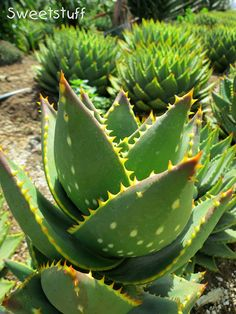 Aloe noblis 'Gold Toothed Aloe' | Flickr - Photo Sharing!
