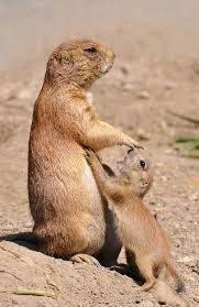baby prairie dogs - Google Search