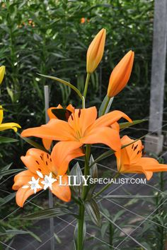 Easter x Asiatic Hybrid Lily 'Eremo'