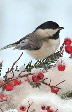 Black Capped Chickadee in Winter Red Berries Small Birds, Little Birds, Colorful Birds, Tiny Bird, Pretty Birds, Beautiful Birds, Bird Pictures, Animal Pictures, Tier Fotos