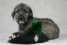 This adorable puppy has been unveiled as the new regimental mascot for the Irish Guard. At just nine weeks old, Finn the Irish wolfhound has become Brian Boru IX and like his predecessors takes his official title from an ancient line of Irish kings.    Read more: http://www.shropshirestar.com/news/2011/03/13/royal-irish-regiment-chooses-new-mascot/#ixzz1vw91xVUL      Read more: http://www.shropshirestar.com/news/2011/03/13/royal-irish-regiment-chooses-new-mascot/#ixzz1vw8sjbgG