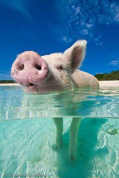 Swimming pigs by Susanna Girolamo, via Flickr