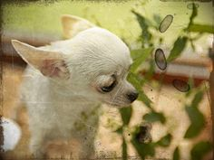Chihuahua Weiner Dog Mix Puppies For Sale | Pets ...