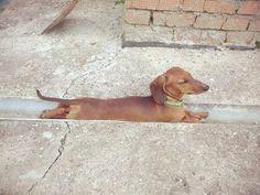 I fit. I sit. LOL!  Shared to us by Stefanie Oxford  Tag a Dog Lover 🐾 <3  #Wiener #doxie #dachshunds #dachshundlover #loveDachshunds #DachLife #DachLover #pet #dog #puppy #ButuanDachshunds #ButuanDoxies #Butuan #Philippines #BuzzfeedAnimals #DogsOfPinterest