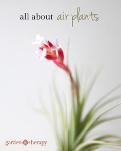 all about air plants - planting, care, blooming and more