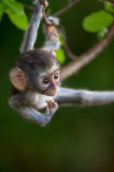 "theperfectworldwelcome: "" followthewestwind: "" Vervet Monkey baby by Gerrit De Vries (via Pinterest) "" Beautiful !!! \O/ """