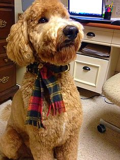 New haircut from a new groomer.  #indythegoldendoodle  Therapy dog in training.