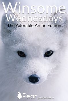 Winsome Wednesdays goes to the frozen wilds to find the adorable arctic! Arctic foxes, polar bears, seals and penguins fill this week's issue! Click through to get your fill of adorable animals and let the cuteness reign!