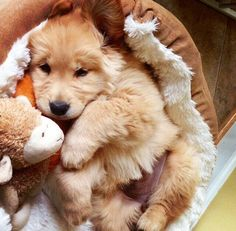 Sweet #Golden #Retriever puppy