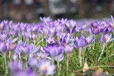 Crocus, purple flowers, meadow wallpaper