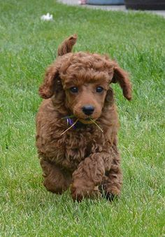 Benker red pup