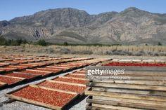 ストックフォト : Sun drying tomatoes, Montagu, Western Cape Province, South Africa