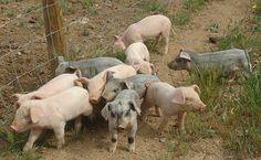 Leitões de porco bísaro