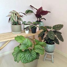 Maranta: Descubra a Riqueza de Texturas Dessa Planta Tropical Indoor Plants, Plant Leaves, Cactus, Tropical, Pasta, Houses, Gardening, Urban, Decorations
