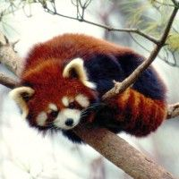 Nuffin' to see here! Just bein' a red panda!  Seriously though, it's sad these guys are endangered.
