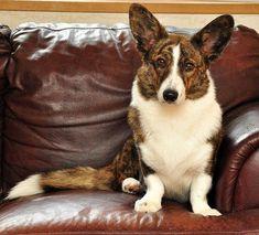 OCD: Obsessive Corgi Disorder, simonsaysbark: I know I've had a ton of people. Ocd, Corgi Husky, Corgi Pups, Corgi Facts, The Cardigans, Puppy Coats, Cardigan Welsh Corgi, Cute Corgi, Purebred Dogs