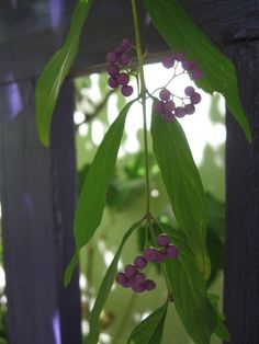 Beautyberry (Callicarpa) native shrub growing next to my purple bench
