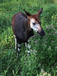 The Okapi is the April animal of the month. Did you know the okapi is indeed the only living relative of the giraffe.