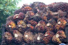 Tiga organisasi lingkungan di Indonesia, yaitu Greenpeace, Walhi dan Serikat Pekerja Kelapa Sawit (SPKS), mendesak pemerintahan baru Joko Widodo-Jusuf Kala, mengevaluasi izin perluasan kebun sawit di kawasan hutan. Tujuannya, menekan laju deforestasi hutan di Indonesia, terlebih di perkebunan sawit cukup luas, seperti Kalimantan, Riau, dan Sumatera Utara.