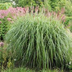 Miscanthus sinensis 'Malepartus' 2L Glansmiskantus - perenner.se Miscanthus Sinensis Malepartus, Gardening Tips, Outdoor Gardens, Grass, Environment, Herbs, Plants, Garden Ideas, Zen