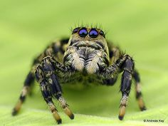 https://flic.kr/p/22bkZGD | Jumping spider, Salticidae | watch the video: rumble.com/v48rdj from Ecuador: www.flickr.com/andreaskay/albums