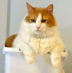 Adoptable Cat: Linus - Domestic Medium Hair Mix (Colonia, NJ) #pets #animals #adoption #rescue #cat