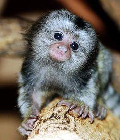 Pygmy Marmoset Monkeys for Sale Marmoset Monkey, Pygmy Marmoset, Funny Looking Animals, Funny Animals, Funny Dogs, Cute Baby Animals, Animals And Pets, Animals Photos, Beautiful Creatures