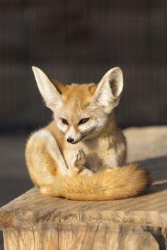 Fennec Fox (by yasa_)