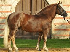 Black Forest Horse - stallion Wilder Retter. Draft horses are my favorites