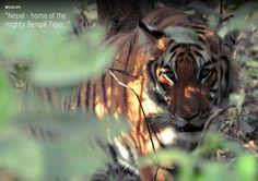 #Nepal #Chitwan #tiger // www.tigertops.com