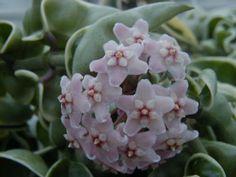 Hoya compacta Regalis